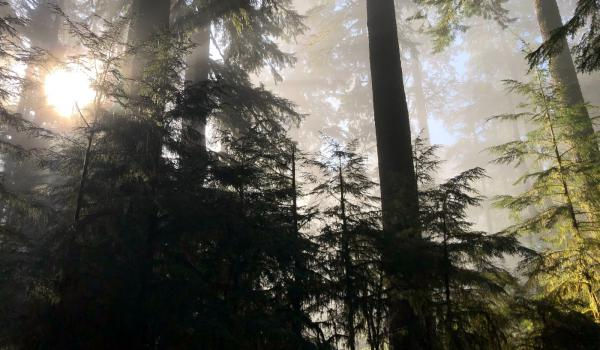 Pine trees with sun and mist